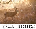 黄色く輝く朝日の中にたたずむ牡鹿と小鹿達 リッチモンドパークの朝 28283528