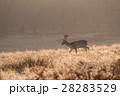 黄色く輝く朝日の下を進む野生の牡鹿 リッチモンドパークの朝 28283529
