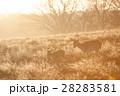 黄色く輝く朝日の下を進む野生のシカたち リッチモンドパークの朝 28283581