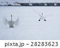 雪上に降り立つ白鳥 28283623