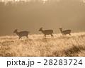 黄色く輝く朝日の下を進む野生のシカたち リッチモンドパークの朝 28283724