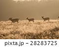 黄色く輝く朝日の下を進む野生のシカたち リッチモンドパークの朝 28283725