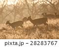黄色く輝く朝日の下を進む野生のシカたち リッチモンドパークの朝 28283767