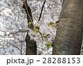 老木のソメイヨシノ 28288153