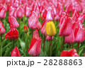 yellow-red field of tulips 28288863
