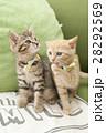 子猫 28292569