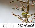 小鳥 梅 鳥の写真 28293006