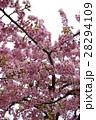河津桜 28294109