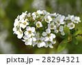 ユキヤナギ 雪柳 白色の写真 28294321