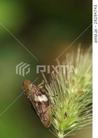 生き物 昆虫 シロオビアワフキ、幼虫は様々な樹木に付くようですが被害は少ないそうです 28294743