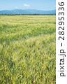 麦 畑 麦畑の写真 28295336