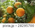 柑橘 柑橘系 シトラスの写真 28295700