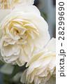 バラ・リッチフィールドエンジェル 28299690