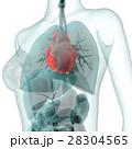 医療系CG(心臓) 28304565