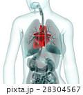 医療系CG(心臓) 28304567