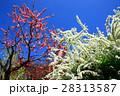 ユキヤナギと桃の花 28313587