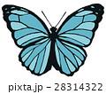 モルフォ蝶のイラスト 28314322