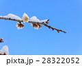雪の降った日の梅の花 28322052
