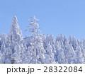 たっぷりと雪を被ったトドマツ 28322084
