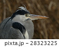 鷺 野鳥 水鳥の写真 28323225