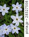 ハナニラ 花韮 花の写真 28327508