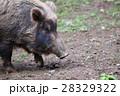【動物】イノシシ(1) 28329322