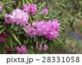 シャクナゲ 花 桃色の写真 28331058