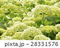 アナベル 紫陽花 花の写真 28331576