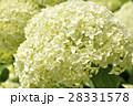 アナベル 紫陽花 花の写真 28331578