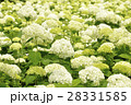 アナベル 紫陽花 花の写真 28331585
