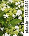 ガクアジサイ 紫陽花 花の写真 28331589