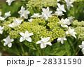 ガクアジサイ 紫陽花 花の写真 28331590