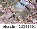 桜の花とヒヨドリ 28331991
