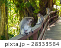 Monkey in forest park in Ubud - Bali Indonesia 28333564