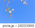 白梅 28333900