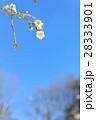 梅 花 白梅の写真 28333901