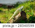 one animal green iguana 28340599