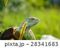one animal green iguana 28341683