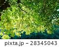 若葉 樹木 エコロジーの写真 28345043