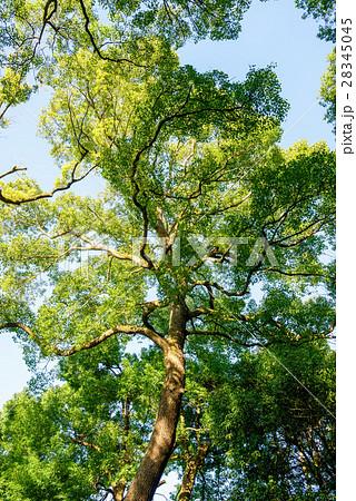 常緑樹、クスノキ、 エコロジーイメージ 28345045