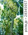 常緑樹、クスノキ、 エコロジーイメージ 28345057