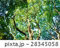常緑樹、クスノキ、 エコロジーイメージ 28345058