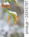 雪をかぶった杉の花 2月 28345787