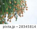 杉の雄花 2月 28345814