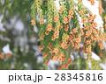 杉の雄花 2月 28345816