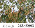 杉の雄花 2月 28345993