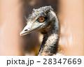動物 ダチョウ目 エミューの写真 28347669