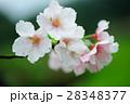 櫻花 花卉 28348377