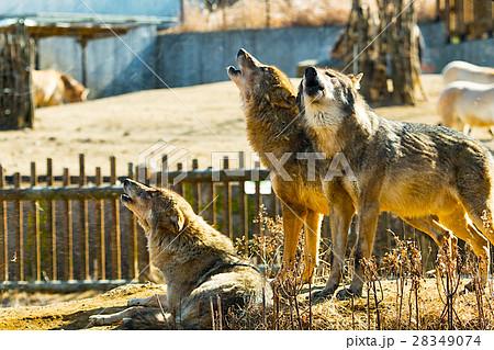オオカミの遠吠え 28349074