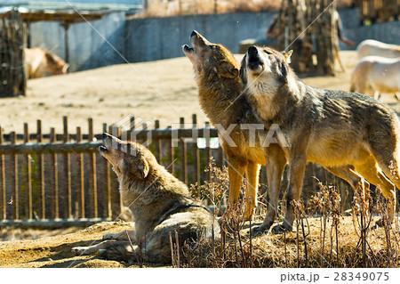 オオカミの遠吠え 28349075